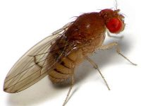 Roodepoort Fruit Fly