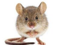 house mice in Roodepoort